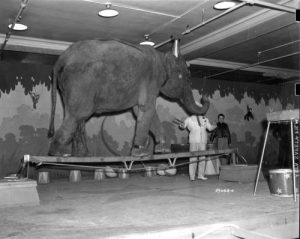 Photograph of a circus elephant walking across a small plank of wood, taken in 1938.
