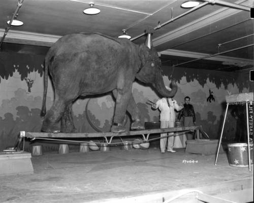 <table class=&quot;lightbox&quot;><tr><td colspan=2 class=&quot;lightbox-title&quot;>Gimbel Brothers Circus Elephant</td></tr><tr><td colspan=2 class=&quot;lightbox-caption&quot;>Photograph of a circus elephant walking across a small plank of wood, taken in 1938. </td></tr><tr><td colspan=2 class=&quot;lightbox-spacer&quot;></td></tr><tr class=&quot;lightbox-detail&quot;><td class=&quot;cell-title&quot;>Source: </td><td class=&quot;cell-value&quot;>From the James Blair Murdoch Photographs. Archives, University of Wisconsin-Milwaukee Libraries. <br /><a href=&quot;http://collections.lib.uwm.edu/digital/collection/jbmurdoch/id/642/rec/66&quot; target=&quot;_blank&quot;>University of Wisconsin-Milwaukee Libraries</a></td></tr><tr class=&quot;filler-row&quot;><td colspan=2>&nbsp;</td></tr></table>