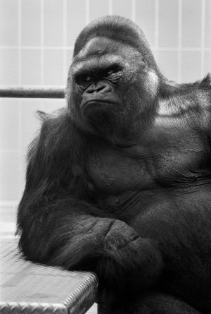 Samson the gorilla leans on his elbow in his enclosure at the Milwaukee County Zoo in 1970.