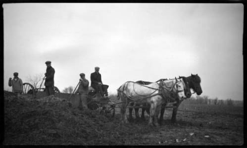 Men on a Milwaukee farm shovel silage into a horse-drawn cart with pitchforks in 1918.