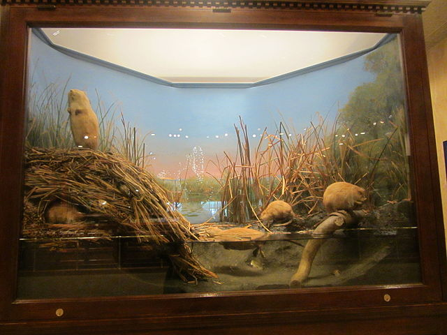 <table class=&quot;lightbox&quot;><tr><td colspan=2 class=&quot;lightbox-title&quot;>Carl Akeley's Muskrat Exhibit</td></tr><tr><td colspan=2 class=&quot;lightbox-caption&quot;>Photograph of Carl Akeley's Muskrat exhibit at the Milwaukee Public Museum. It is the first known total habitat diorama. </td></tr><tr><td colspan=2 class=&quot;lightbox-spacer&quot;></td></tr><tr class=&quot;lightbox-detail&quot;><td class=&quot;cell-title&quot;>Source: </td><td class=&quot;cell-value&quot;>From the Wikimedia Commons. Photograph by Evan Howard. CC BY-SA 2.0.<br /><a href=&quot;https://commons.wikimedia.org/wiki/File:Akeley%27s_muskrats_(24092994301).jpg&quot; target=&quot;_blank&quot;>Wikimedia Commons</a></td></tr><tr class=&quot;filler-row&quot;><td colspan=2>&nbsp;</td></tr></table>