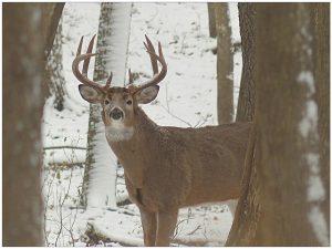 After a nearly sixty-year absence, deer returned to the Milwaukee area in 1947. This buck was seen in 2013 in West Allis's Greenfield Park.