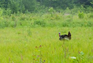 While turkeys like this one at the Schlitz Audubon Nature Center may not be a completely foreign sight today, the initial wave of European settlement had eliminated them from the Milwaukee area by the mid-1850s.