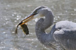 Nineteenth century settlement in southeastern Wisconsin negatively affected local fish and bird populations in dramatic ways from which local ecosystems much longer to recover.