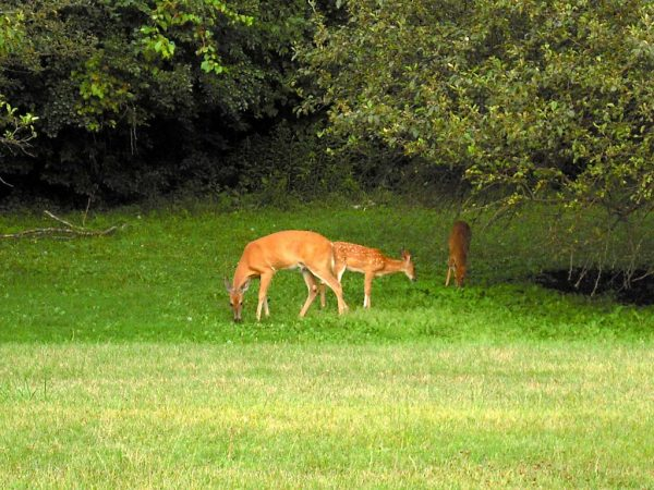 Once driven away from the Milwaukee area, whitetail deer have become a more common sight in recent decades. These deer were spotted in Whitnall Park in Greendale.