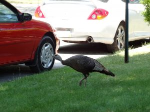 Flocks of turkeys are extremely common in the suburbs of Milwaukee and can sometimes be found in the city as well, like this one.