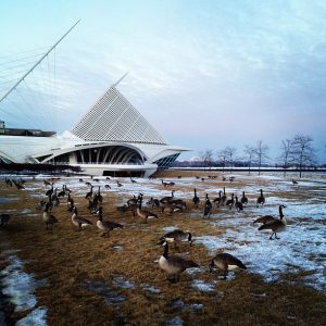 Since the 1970s, massive numbers of the giant Canada Goose have flocked to the greater Milwaukee area. While some are migratory, many live in the area year-round.