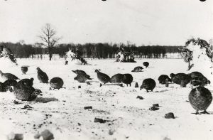 Once found over large areas of the state of Wisconsin, the prairie chicken was nearly driven to extinction by the middle of the twentieth century. Today, small populations exist in the central region of the state. This photograph is from Chippewa County in 1940.