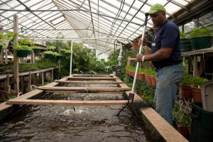 Will Allen fishes for tilapia in the Growing Power aquaponics system in 2008.