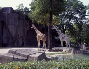 Two giraffes stand in their outdoor exhibit at the Milwaukee County Zoo.