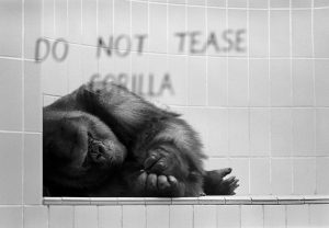 "In this 1970 photo, Samson the gorilla is reclining in his cage with ""Do Not Tease Gorilla"" sign on window."