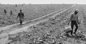 Migrant laborers leave a cucumber field in Portage, Wisconsin in 1967 as part of a strike organized by the Obreros Unidos labor union. Obreros Unidos leader Jesus Salas was appointed as the director of UMOS in 1968.