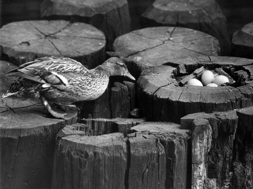 In 1945, Gertie the Duck became a national sensation after laying eggs in an old piling near the Wisconsin Avenue bridge. Gertie and four of her eggs are pictured here.